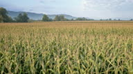 AERIAL Ripe corn field on sunny day video