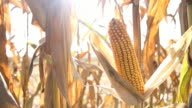 HD DOLLY: Ripe Corns On The Cob video