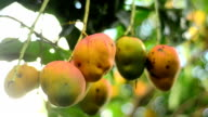 ripe delicious mangoes dangling in tree video