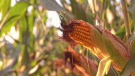 SLO MO DS Ripe ears of corn in field at sunset video