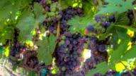 Ripe Grape Clusters video
