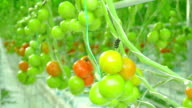 Ripe natural tomatoes growing on a branch greenhouse video