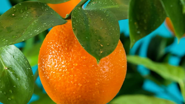 ripe orange on orange tree branch video