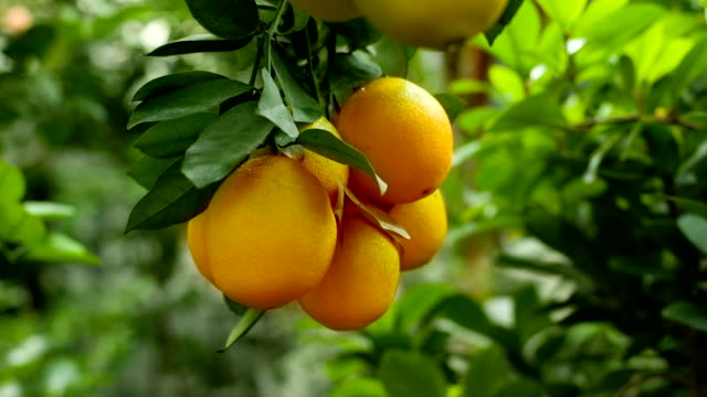 Ripe oranges on a branch video