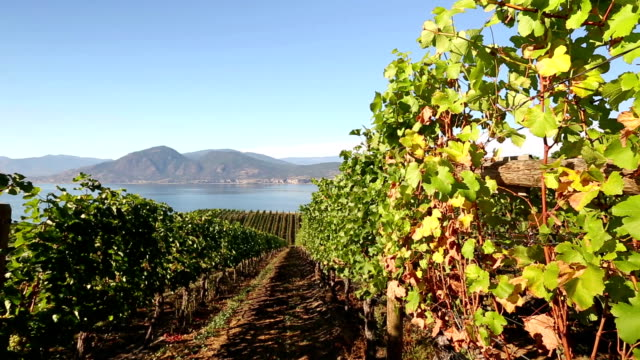 Ripe Organic Merlot Grapes Okanagan Valley video