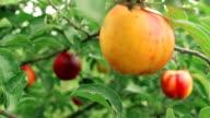 ripe peach on a branch video
