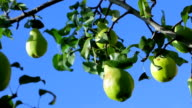 Ripe pears hanging on the tree. video