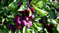 ripe plums on a branch in a garden video