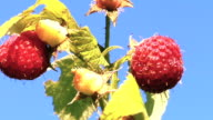 Ripe raspberries against blue sky video