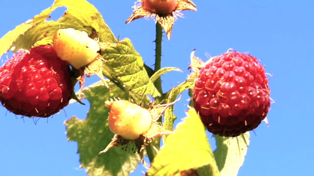 Ripe raspberries against blue sky video