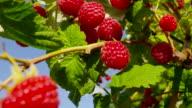 ripe raspberry bush video