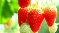 Ripe strawberries. video