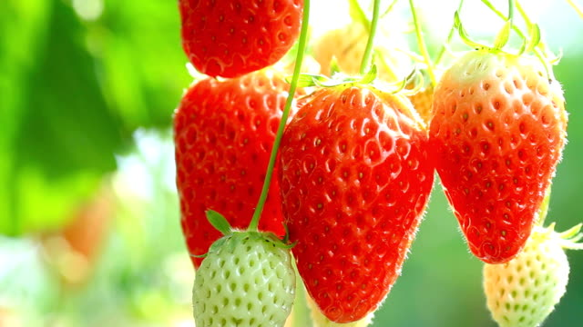 Ripe strawberries. video