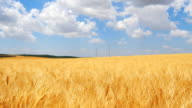 Ripe wheat field, blue sky, white clouds video