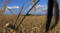 ripe wheat field video