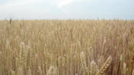 Ripe wheat field. video