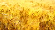 Ripe wheat in anticipation of the harvest video