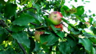 Ripening red apples hanging on apple tree branch video