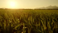 AERIAL: Rising up from wheat field towards the sun video