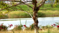 River Birch Tree Slow Motion Pan video