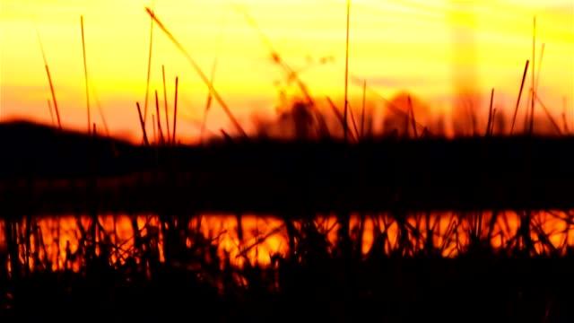 river bulrush grass at sunset orange nature landscape video