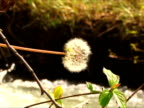 River Dandelion. video