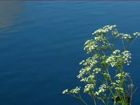 River flowing with cow parsley in foreground video
