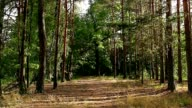 road in the pine forest video