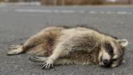 Road Kill Raccoon video