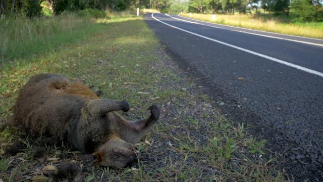 Road kill wallaby video