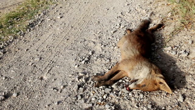 Road killed Wildlife Red Fox video