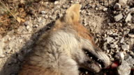 Road killed Wildlife Red Fox video