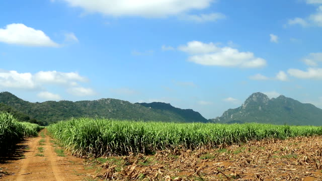 Road on sugar cane field ready for harvest. video