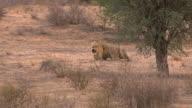 Roaring-Lion video