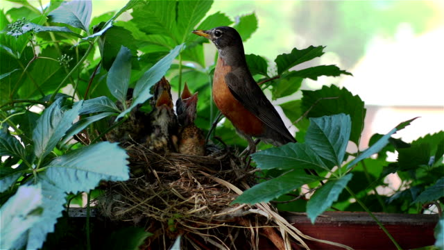 Robin Bird Feeding Her Babies Earthworms in the Nest video