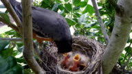 Robin feeding her chicks in nest video