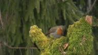 Robin in Early Morning (HD) video