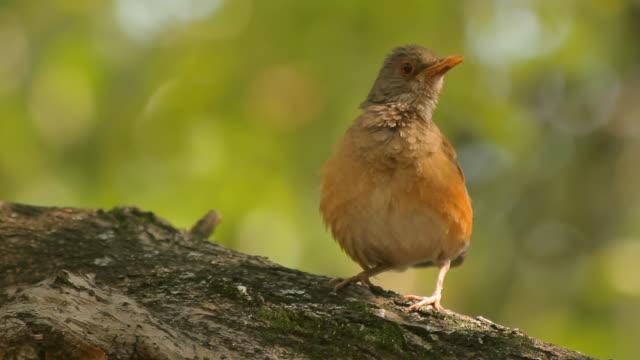 Robin Singing Three Takes (HD) video