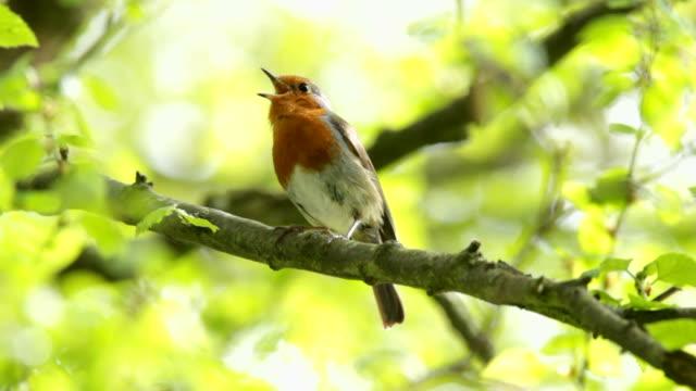 Robin Singing video