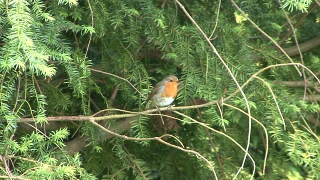 Robin (Erithacus rubecula) video