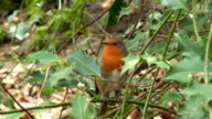 Robin video