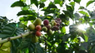 Robusta coffee beans. video