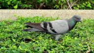 Rock Pigeon eating video