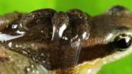 Rocket Frog (Allobates insperatus) video