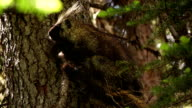 Rocky Mountain Porcupine video