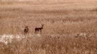 roe deer in field of reed video