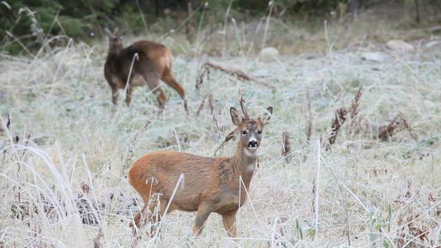 roe deer video