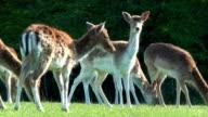 Roe deers video