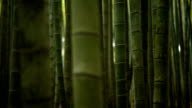 Rolling focus through a bamboo forest video
