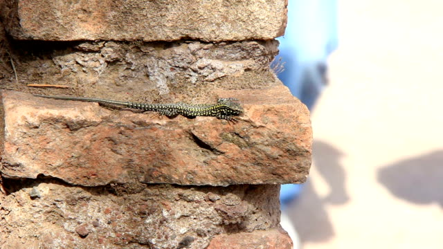 Roman lacertidae in Brik wall video